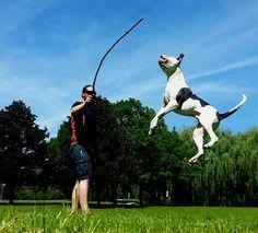 Pitbulls, Dogs, Animals, Animais, Animales, Animaux, Pet Dogs, Pit Bull Dogs, Doggies