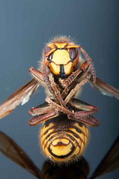 The Giant Japanese Hornet, Japan