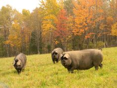 Black Hogs