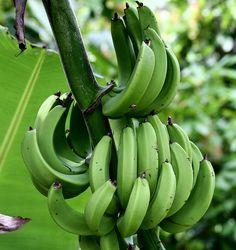 Mmmm green bananas!  Love these in Jamaican food!