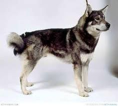 Swedish Elkhound/Jämthund
