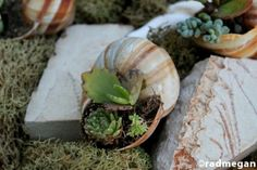 Amazing DIY Garden Of Snail Shells - Shelterness Hanging Succulents, Succulents In Containers, Succulent Pots, Potted Succulents, Diy Garden, Garden Planters, Garden Projects, Garden Ideas, Snail Shell