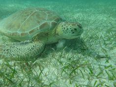 Sea turtle Akumal Mexico so graceful
