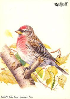 Коллекция картинок: Птицы от Andre Buzin (ну и другие животинки)