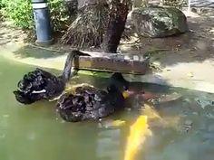 Des cygnes noirs nourrissant des poissons (4)