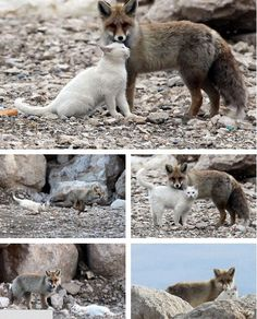 Near the shores in the city of Van, a cat and a fox are often seen playing together. A local said he first saw them together when they shared some left over fish from a fisherman. The pair soon began to play together and it has now been over a year since they began this unlikely alliance.
