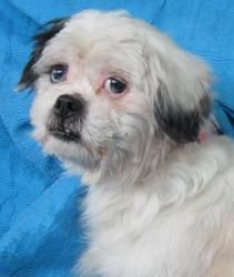 CUBA, NY>>>Isabella Elizabeth is an adoptable Shih Tzu Dog in Cuba, NY.  No More Puppies for Me! Isabella was born about January 5, 2004 and weighs about 15 lbs. She is one of our Elizabeth Collection and they ...