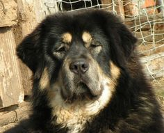 Pictures of Tibetan Mastiff Puppies, puppies. British Mastiff, Most Expensive Dog, Giant Dog Breeds, Mastiff Puppies, Tibetan Mastiff, Dog Insurance, Dog Agility, Dog Behavior, Dog Care