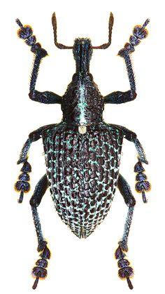 Entimus granulatus