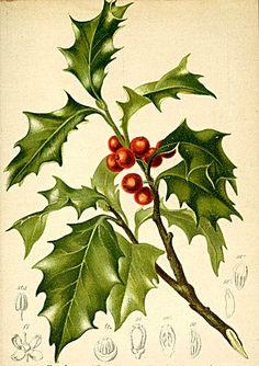 holly botanical illustration @wikimediacommons #illustration #botanical #print