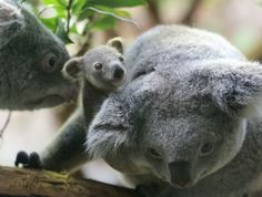 JAN 24: A circa six months old female baby koala and her parents are pictured on January 22, 2014 at the zoo in Duisburg, western Germany. (Roland Weihrauch/AFP/Getty Images)