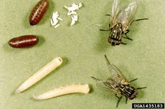 Complete descriptions and control measures of household flies and gnats Mayfly, Lose My Mind, Life Cycles, Poultry, Coloring Books, Bee, Musca, Hedwig, Wallpaper Quotes