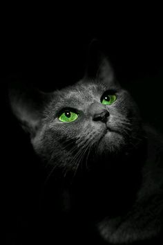 If you are looking for a truly unique and beautiful kitten you don't have to look much further than the Russian Blue breed. Delightful Discover The Russian Blue Cats Ideas. Beautiful Cats, Animals Beautiful, Cute Animals, Beautiful Images, Crazy Cat Lady, Crazy Cats, I Love Cats, Cool Cats, Regard Animal