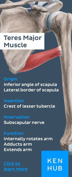 #muscle facts about the teres major. Read more on our free #anatomy article on Kenhub.