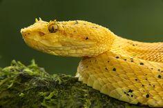 Eyelash viper (Bothriechis schlegelii), Costa Rica by Jim Zuckerman Photography