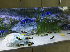 Cichlid Aquarium, African Cichlids