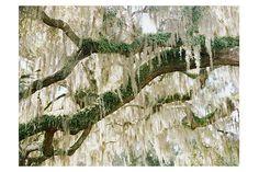Spanish Moss and Live Oak Tree Orlando Florida Fine Art Photography Print by Heidi Vail