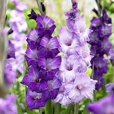 Gladiolus Bulbs Blue Moon Mix . want these
