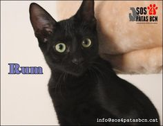THE DAVINCI FOUNDATION FOR ANIMALS RESCUE ACROSS THE NATION, Rescue Info:GLOBAL OUTREACH RESCUE RUM- http://www.salvaunamascota.es/gato-en-adopcion/gatos/4291/ … hacer RT gracias!