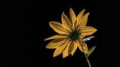 Yellow flower from a friend's garden.