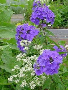 """Phlox 'Blue Paradise' --- gorgeous fragrant, violet-blue flowers that attract butterflies! Zones Another pinner reports, """"Will grow with Black Walnut trees"""" Natural Landscaping, Backyard Landscaping, Landscaping Ideas, Inexpensive Landscaping, Backyard Patio, Paradise Garden, Dream Garden, Tall Phlox, Phlox Plant"""