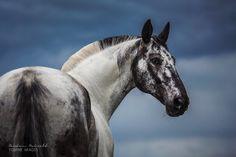 "equine-images: ""Calm before the storm - polish warmblood ""Grisu"" | www.carinamaiwald.com """