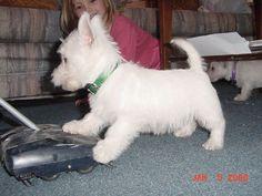 Mar mar Westie Puppies, Westies, My Best Friend, Best Friends, West Highland Terrier, West Highland White, White Terrier, Love Memes, Cairns