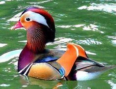 Mandarijn eend Canard Mandarin, Mandarin Duck, Most Beautiful Birds, Pretty Birds, He's Beautiful, Colorful Animals, Colorful Birds, Beautiful Creatures, Animals Beautiful