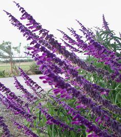 Sage Mexican Bush | Sierra Vista Growers