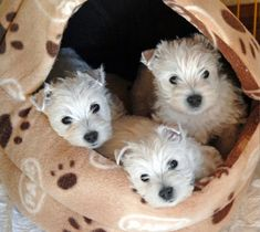 West Highland White Terriers I want one! Westies, Westie Puppies, Cute Puppies, Dogs And Puppies, Doggies, Chihuahua Dogs, Beautiful Dogs, Animals Beautiful, Cute Animals