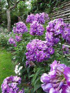 Phlox paniculata - adessa special purple star. One of my favorites this year, the wet spring/summer has made well over 1m high