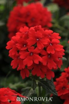 My Garden: Endurascape Red Verbena - Perennial (side flower bed near street)