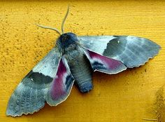 """Big Poplar Sphinx Moth (pachysphinx occidentalis) With a wingspan of 5 to 5 in. Mik's Pics """"Butterflies and Moths l"""" board Insect Tattoo, Moth Tattoo, Papillon Butterfly, Butterfly Art, Cool Insects, Bugs And Insects, Beautiful Bugs, Beautiful Butterflies, Types Of Moths"""