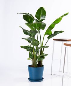 Buy Potted Bloomscape Bird of Paradise Indoor Plant Buy Indoor Plants Online, Tall Indoor Plants, Large Plants, Potted Plants, Hanging Plants, Living Room Plants, House Plants Decor, Plant Decor, Home Buying Tips
