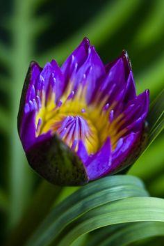 ~~Blue lotus flower by Thelma Gatuzzo~~