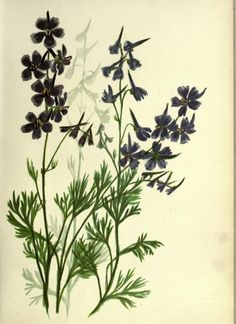 Larkspur ~ Wild flowers of the Pacific coast, 1887.
