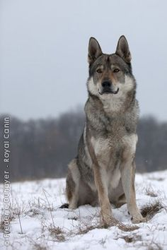 Page Not Found - Royal Canin Beautiful Dogs, Animals Beautiful, American Indian Dog, Animals And Pets, Cute Animals, Czechoslovakian Wolfdog, Wolf Husky, Purebred Dogs, Golden Retriever