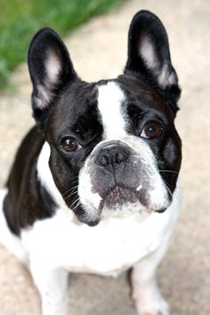 Afficher l'image d'origine, bouledogue francais, French Bulldog