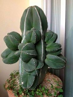 Weird Plants, Unusual Plants, Exotic Plants, Cool Plants, Succulent Gardening, Cacti And Succulents, Planting Succulents, Planting Flowers, Cactus House Plants