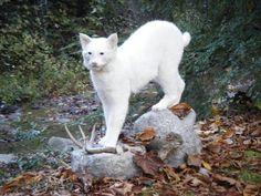 Albino bobcat