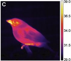 Thermografie van Mussen - Thermographic's Library - Thermography of a sparrow - Image thermique d'un moineau