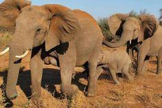 Águas de Pontal: China vai proibir comércio de marfim e salvar elef...