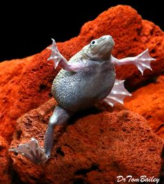 1000 images about african dwarf frogs on pinterest for Fish tank frogs