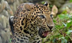 A leopard in Ragaphahar zoological park: a string of sightings of big cats in urban areas has raised concerns about habitat. Photograph: Cai...