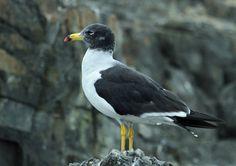 Belcher's Gull(Larus belcheri)