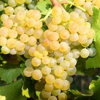 Muscat Ottonel Vines, Fruit, Grape Vines, Vitis Vinifera