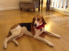 Lucy - American Foxhound