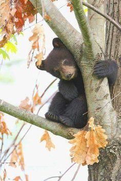 baby bear in a tree