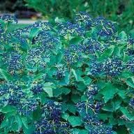 Viburnum.  Blue Muffin.   Blue berries show after the white flowers fade. 5'-6' tall.
