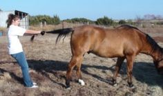 The Tail Stretch - spinal decompression for horses - www.heavenlygaitsequinemassage.com